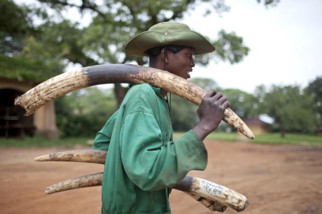 Environ 50 000 éléphants sont tués annuellement en... (ARCHIVES AFP)