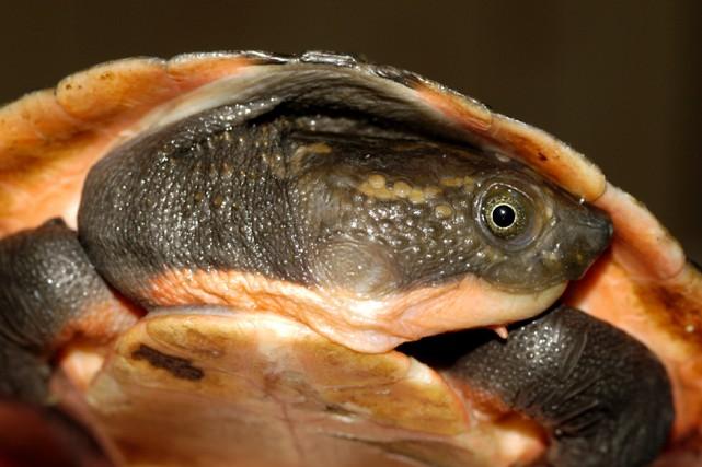Cette nouvelle espèce, baptisée Elsya rhodini, a été... (PHOTO AGENCE FRANCE-PRESSE)