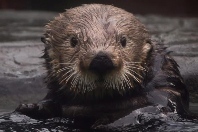 Une enquête du zoo de Calgary a déterminé ce qui a causé la mort d'une loutre... (Photo archives La Presse Canadienne)