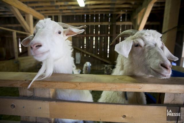Le gouvernement fédéral versera plus de 250 000 $ aux éleveurs de chèvres du... (Photo archives La Presse)