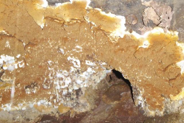La mérule pleureuse produit des spores orange brunâtre,... (Fournie par Enviro-Option)