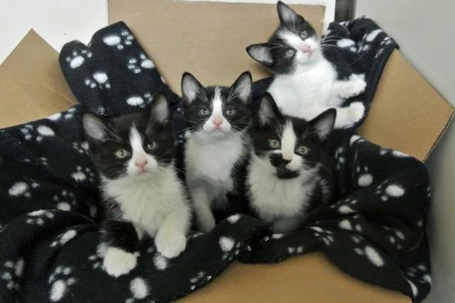 Les chatons Agathe, Agnès, Pico et Félix sont... (Photo fournie par la SPA)