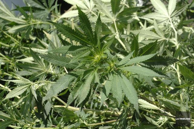 Les patients pourront faire pousser leur marijuana thérapeuthique.... (PHOTO ARCHIVES, LA TRIBUNE)