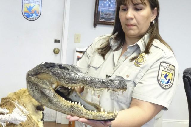 Sylvia Gaudio montre un squelette de crocodile saisi.Les... (AFP, Diego Urdaneta)