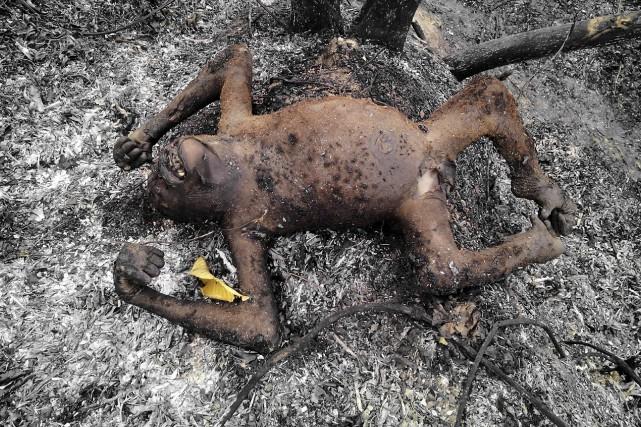 Les corps calcinés des orangs-outans de Bornéo, espèce... (AFP)