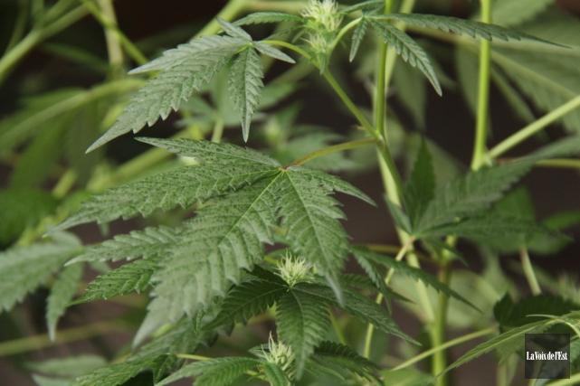Chanvre, cannabis, marijuana, pot, beuh, herbe, joint... qu'importe le nom... (archives La Voix de l'Est)