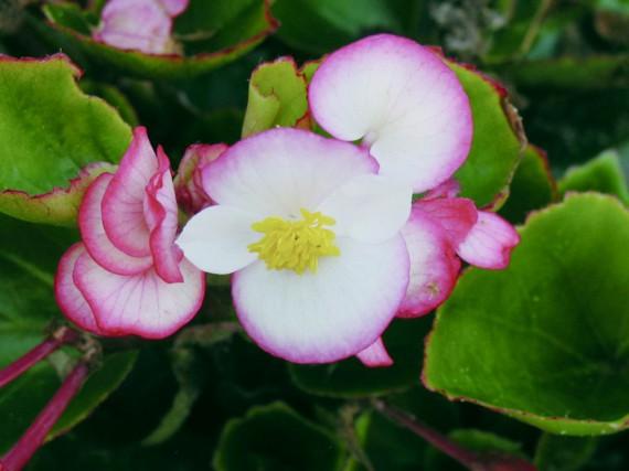 Begonia Senator Bicolor B-Sakata... (National Garden Bureau)