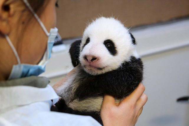 Deux bébés pandas sont nés au Zoo de... (Photo fournie par le Zoo de Toronto)