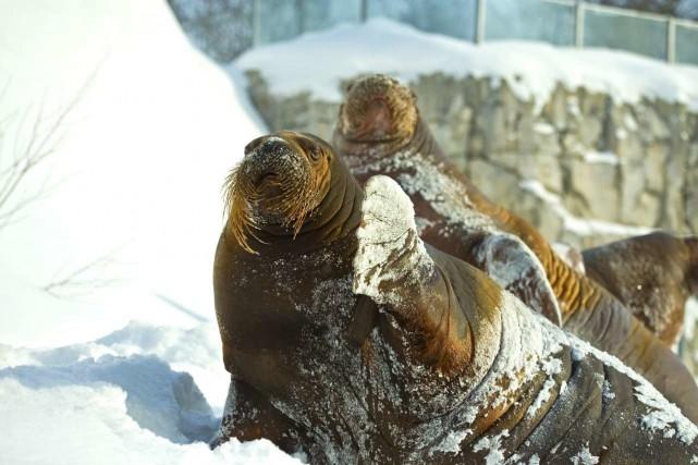 Les deux femelles morses, Arnaliaq et Samka, sont... (Société des établissements de plein air du Québec)