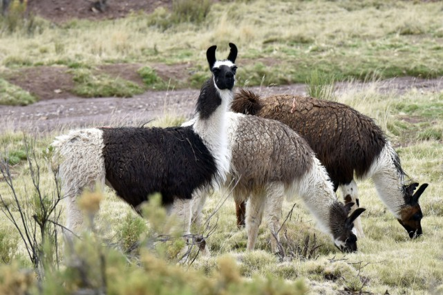 La viande de lama est une viande traditionnelle... (PHOTO AFP)