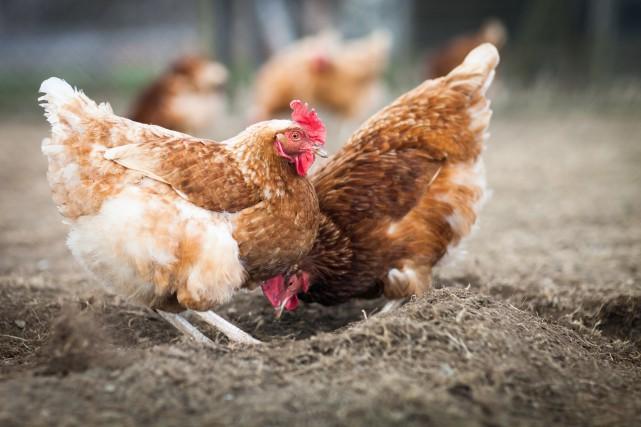 Il sera désormais possible d'élever des poules sur... (123RF)