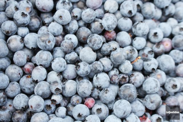 La récolte de bleuets devrait être bonne cette année. La Financière agricole... (Archives, Le Quotidien)