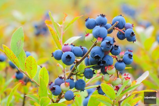 La récolte de bleuets en forêt n'a pas été aussi prometteuse que prévu. Les... (Archives Le Quotidien)