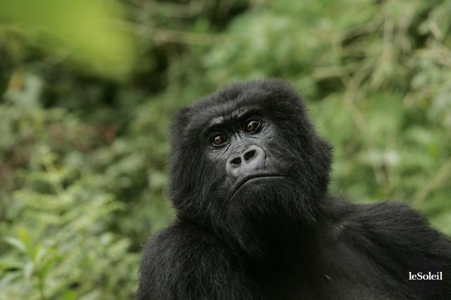 Au Rwanda, c'est surtout les gorilles de montagne... (Photothèque Le Soleil, AP)