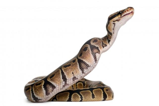 Avait-il mangé un mauvais sushi? Après avoir sorti un petit serpent dans un... (PHOTO THINKSTOCK)