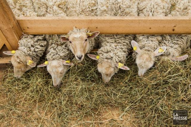 Les agneaux des Serres Beaulieu sont surtout nourris... (PHOTO HUGO-SÉBASTIEN AUBERT, LA PRESSE)