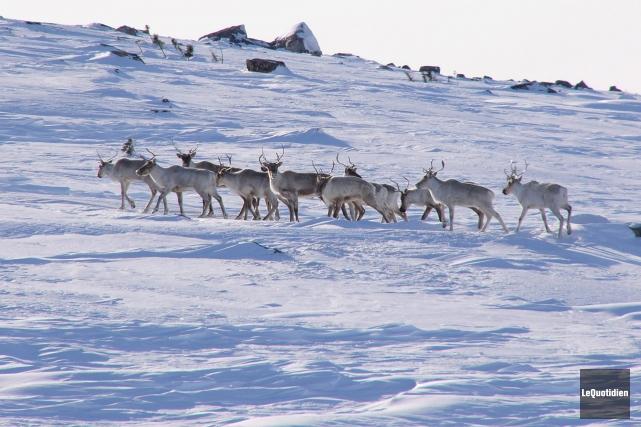 Québec annonce un train de mesures visant à protéger le caribou forestier, une... (Archives Le Quotidien)