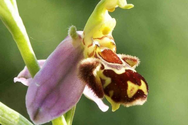 La fleur de l'orchidée abeille ressemble à la... (BerndH, Wikimedia Commons)