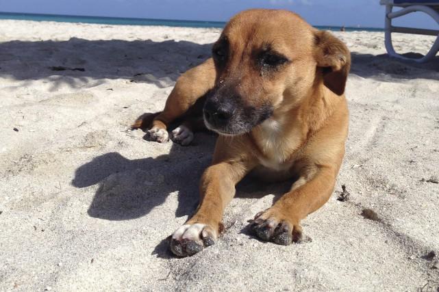 À Cuba, les chiens de village, de toutes... (Photo Le Progrès-Dimanche, Mélissa Viau)