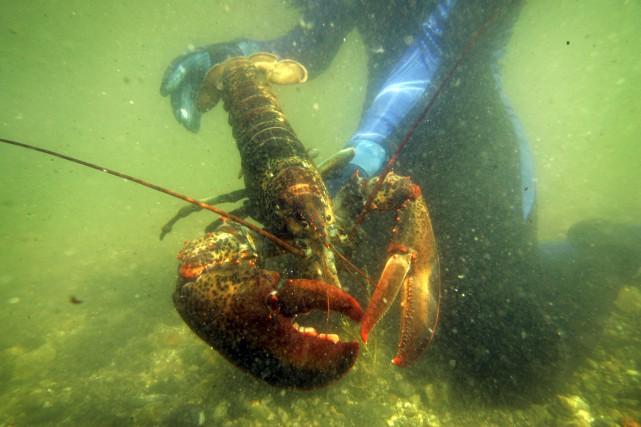 On ne sait pas comment 32 homards américains ont pu se retrouver dans les eaux... (AP, Robert F. Bukaty)