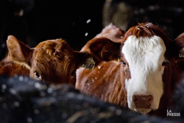 L'utilisation abusive d'antibiotiques chez les animaux d'élevage est dangereuse... (La Presse, Marco Campanozzi)