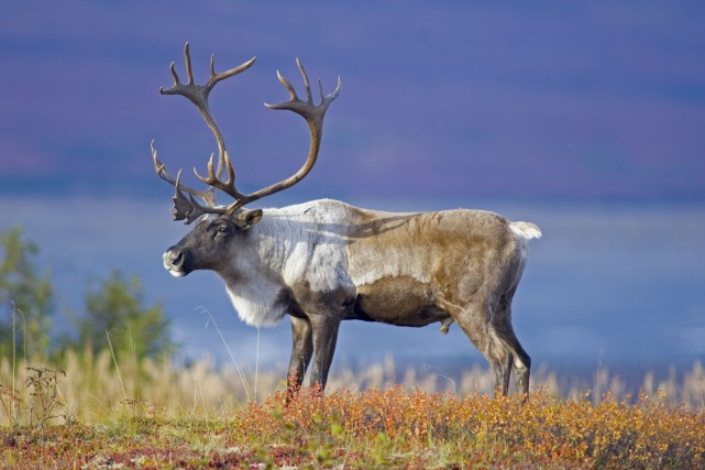 Caribou forestier... (123rf)