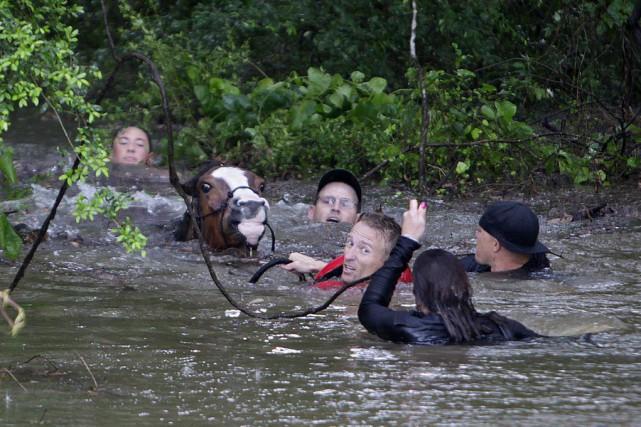 Des citoyens ont collaboré pour sauver 70chevaux à... (PHOTO MARK MULLIGAN, AP/HOUSTON CHRONICLE)