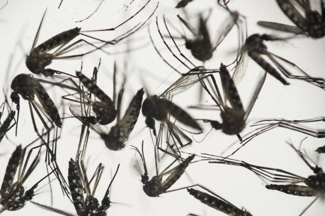 L'aedes aegypti - le moustique de la fièvre... (PHOTO FELIPE DANA, ARCHIVES AP)