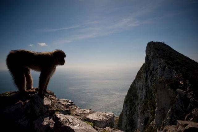C'est dans la zone protégée de l'Upper Rock... (PHOTO JORGE GUERRERO, AFP)