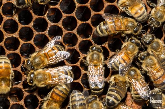 Cinq millions d'abeilles ont été subtilisées dans un... (Archives La Presse)