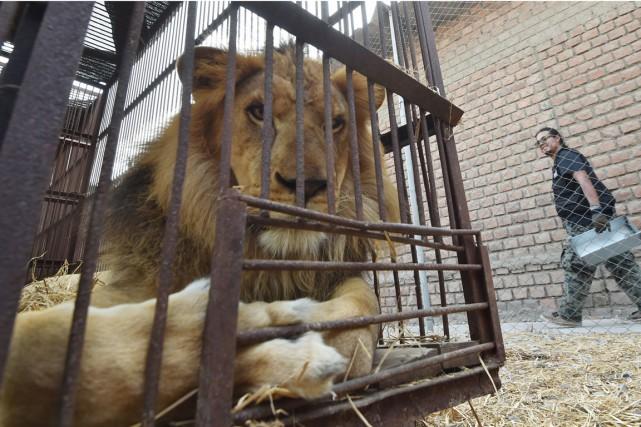 Un des 33 lions africains nés en captivité... (Agence France-Presse)