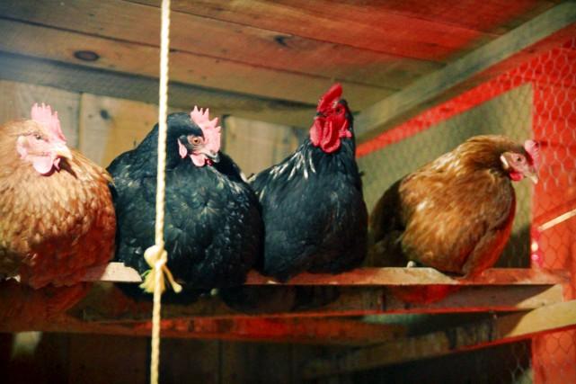 M'sieur Marcel et ses poulettes vous saluent bien... (Collaboration spéciale, Annick Sauvé)