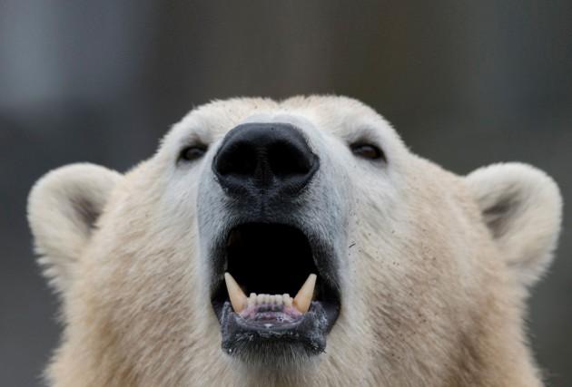 Des tirs d'avertissement et des cris n'ont pas réussi à effrayer un ours... (Photo archives AFP)