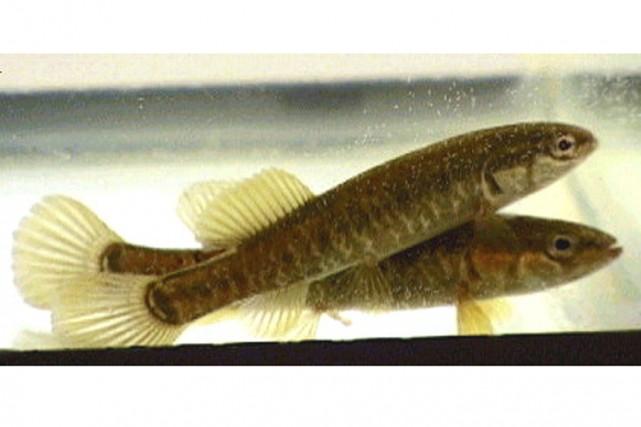 L'Umbre de vase est un petit poisson dont la longueur varie de 5 à 10cm. Elle...