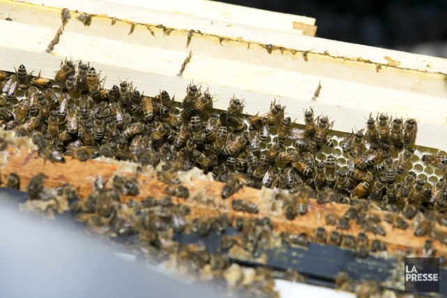 Un deuxième suspect a été arrêté dans le cadre du vol de plus de 180 ruches et... (Photo François Roy, archives La Presse)