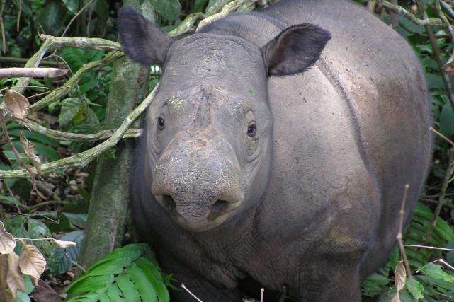 Un rhinocéros de Sumatra.... (Photo Agence France-Presse/WWF)