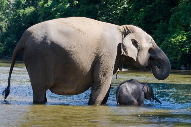 Un éléphant de Sumatra et son bébé.... (Photo CHAIDEER MAHYUDDIN, archives Agence France-Presse)