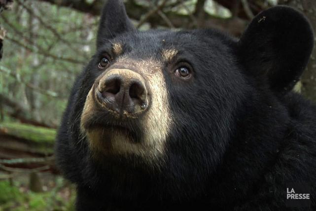 Après avoir observé une maman ourse et ses deux oursons dans le sentier des... (Archives PC)