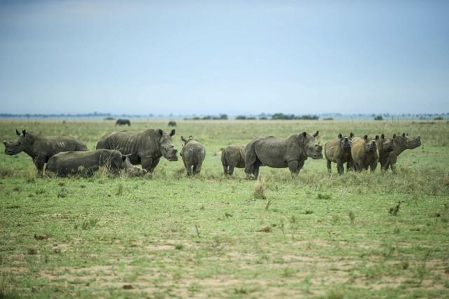 Pour éviter l'extinction des rhinocéros massacrés pour leurs cornes, des... (Agence France-Presse)