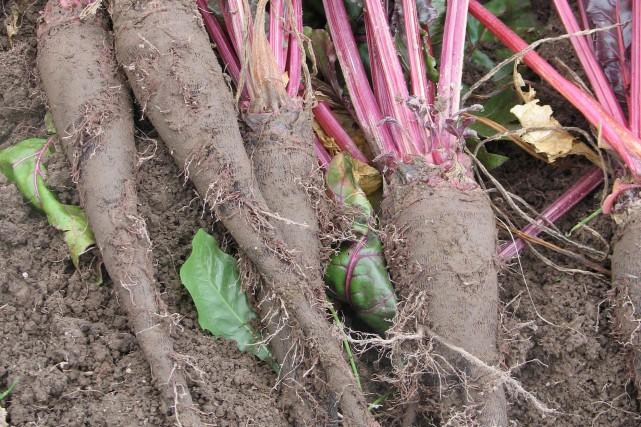 Betteraves crapaudines... (Photo fournie par la Société des plantes)