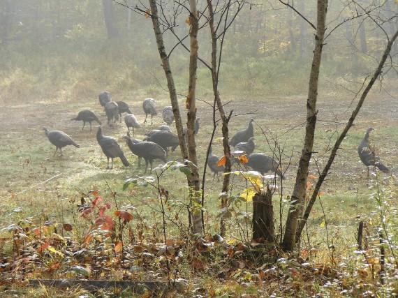 La saison de chasse au dindon, qui prend... (Collaboration spéciale, Daniel Forgues)