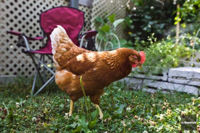 Batiscan autorisera les poules urbaines brigitte trahan for Duree de vie des poules pondeuses