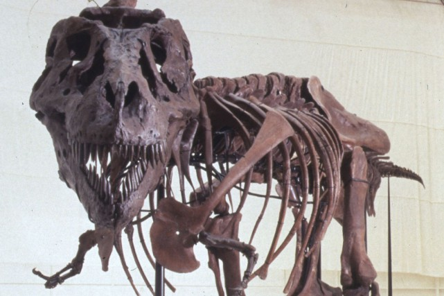 Sue, le squelette de Tyrannosaure Rex le plus... (Photo archives Reuters)