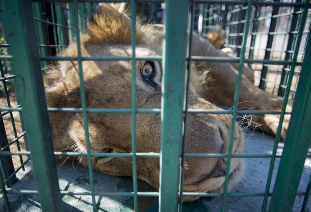 La direction d'un zoo chilien a annoncé que deux lions avaient été tués après... (Photo archives AP)