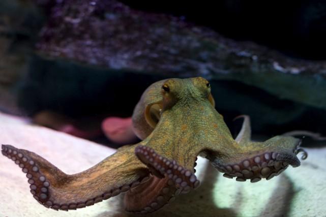 Le réchauffement de la planète paraît profiter aux céphalopodes comme les... (PHOTO AFP)
