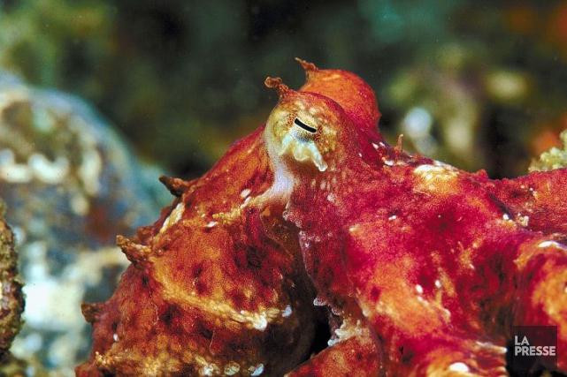 Les céphalopodes sont connus pour avoir une croissance... (Photothèque La Presse)