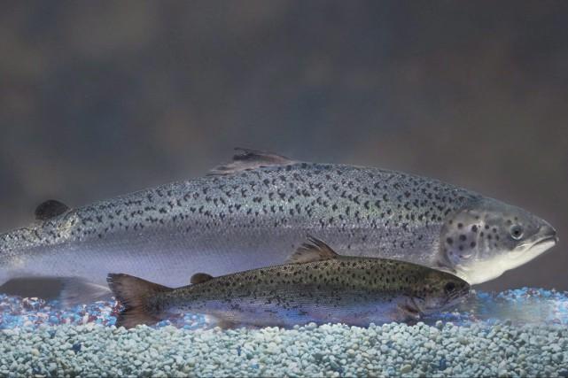 Santé Canada a statué que le saumon génétiquement... (Associated Press)