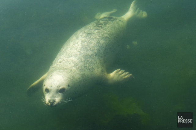 Le Réseau québécois d'urgences pour les mammifères marins a émis un avis à la... (Wikimedia commons, Wordless symbol)