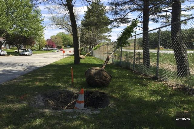 La Ville de Sherbrooke plante des érables entre... (La Tribune, René-Charles Quirion)