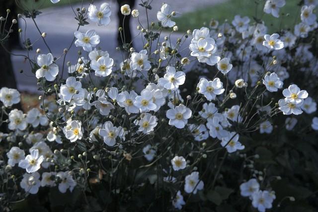L'anémone du Japon «Honorine Jobert» se plaît surtout... (www.jardinierparesseux.com)